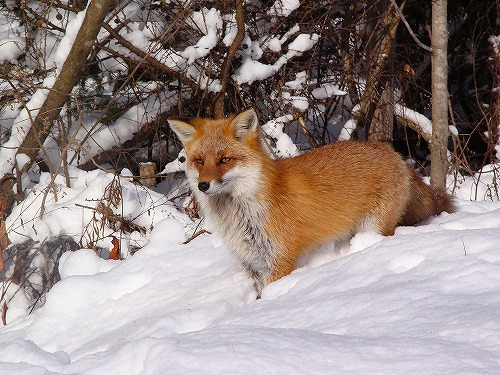 red squirrel in snow wild animals in japan