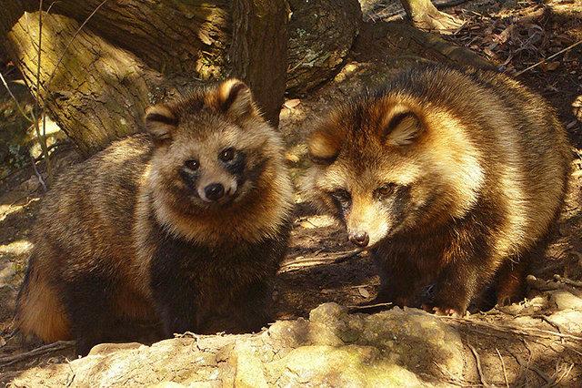 Africa Tanuki Wild Animals In Japan